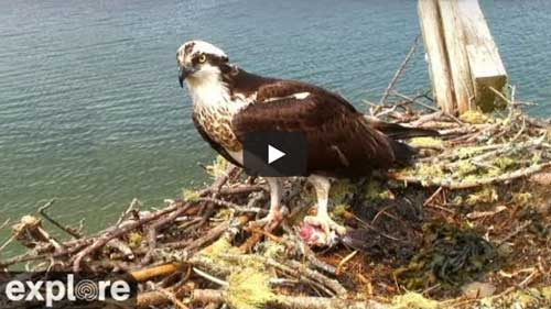 Hog Island Maine - Osprey Nest - OspreyCam